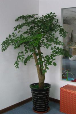 冬季幸福树养护应该了解几点?