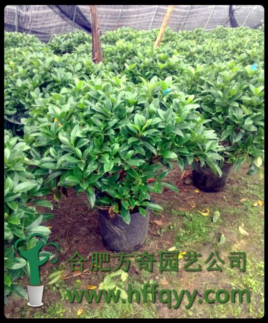 北方地区盆栽,为防止叶片黄化