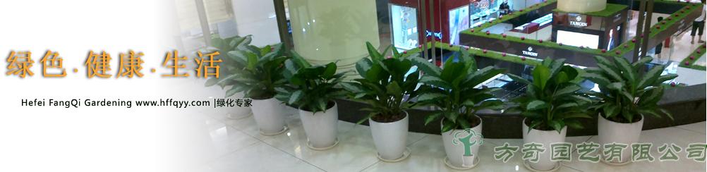 橡皮树-大型植物-【花卉盆景租赁网】-合肥最大的租